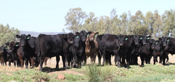 Australia_Cow.jpg