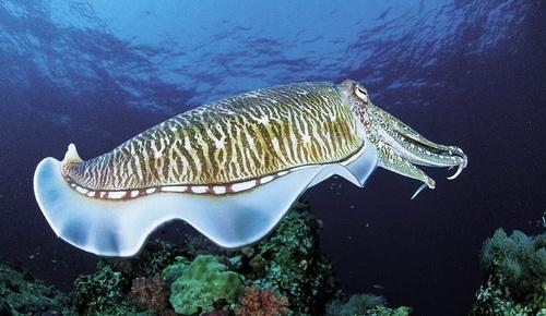 Cuttlefish-1.jpg