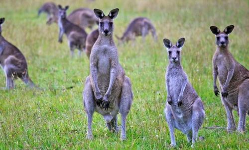 Kangaroos2019.jpg