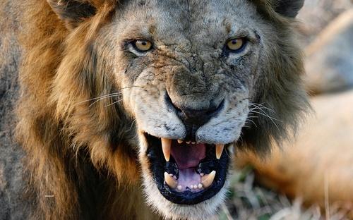 Lion_Angry.jpg