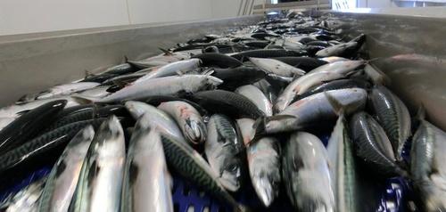 Norway_mackerel_product.jpg