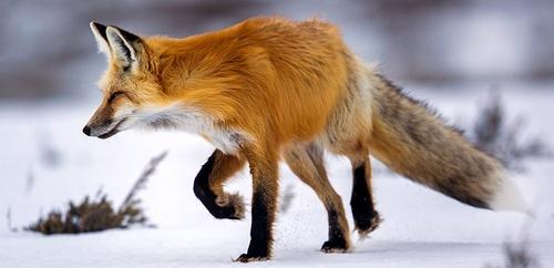 Red-fox-2.jpg