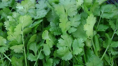coriander-1.jpg