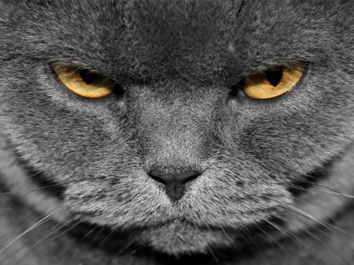 grey_cat_angry.jpg