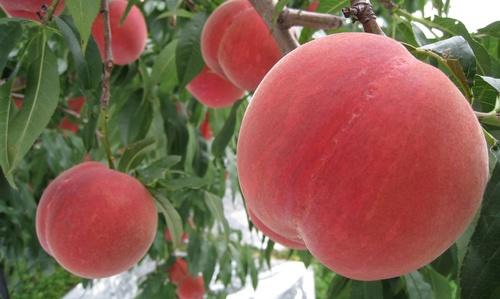 peach_fruit-1.jpg
