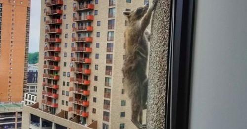 raccoon_climbs-1.jpg