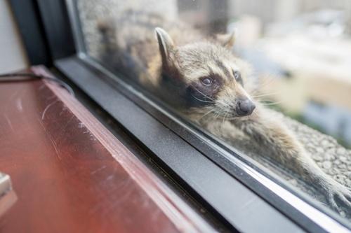 raccoon_climbs-3.jpg