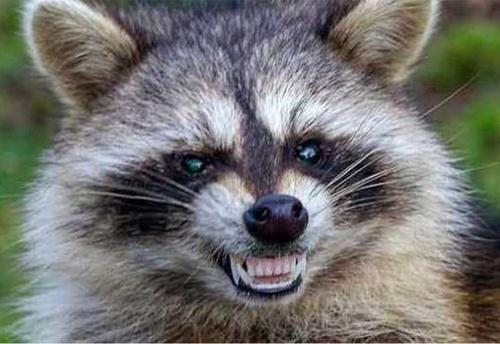 raccoon_zombie2.jpg