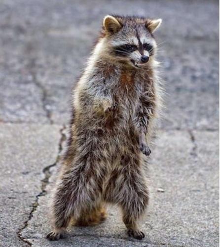 raccoon_zombie3.jpg