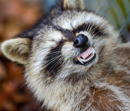raccoon_zombie4.jpg