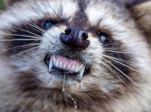raccoon_zombie5.jpg