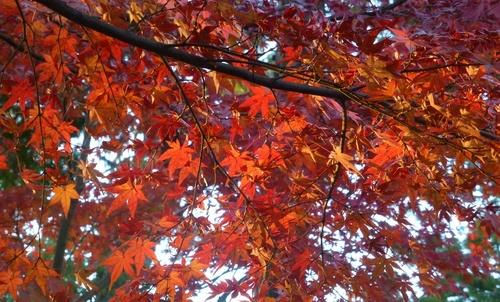 red_leaf_1.jpg