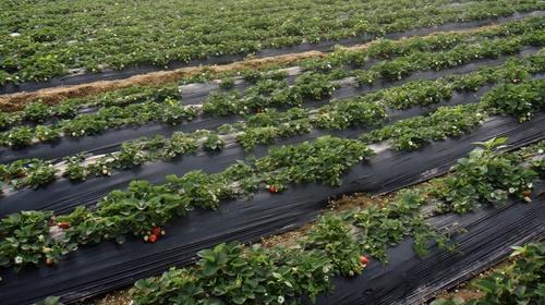 strawberry_farm.JPG